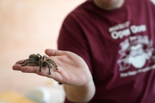 PHD student Andrew Johnston displays a Chilean Rose Haired Tarantula at the ASU Open Door at the Tempe campus.